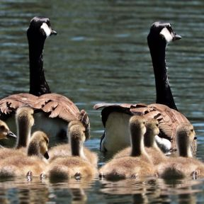 Geese Family on a Pond