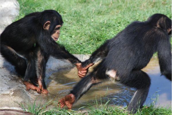 Chimpanzees recruit partners.