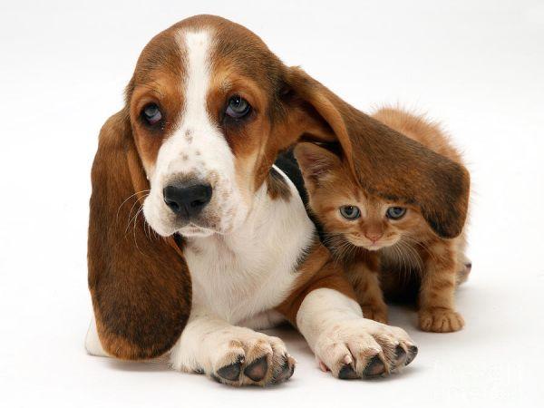 dog pet canine cat feline kitten puppy basset hound bond