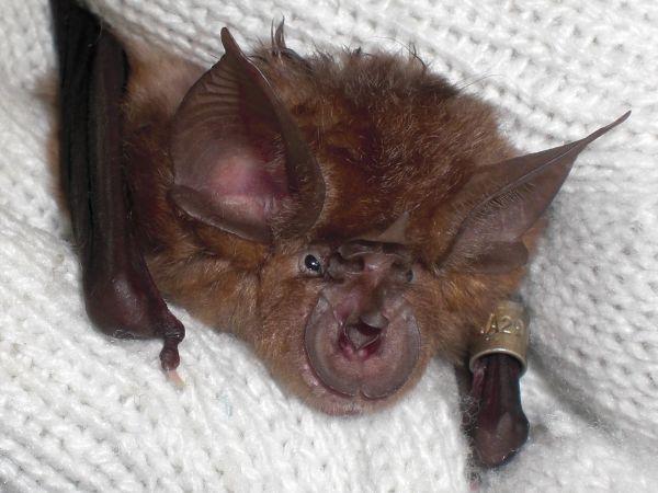 Japanese Horseshoe Bat