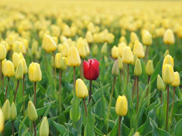 Red flower in field of yellow flowers