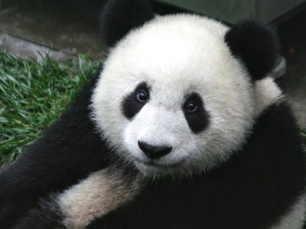 Did a panda cub, like this one, fly international business class?