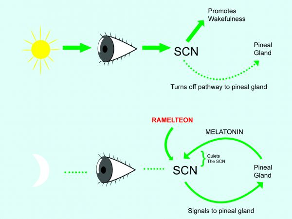 Interaction of the SCN and the pineal gland in the release of melatonin.
