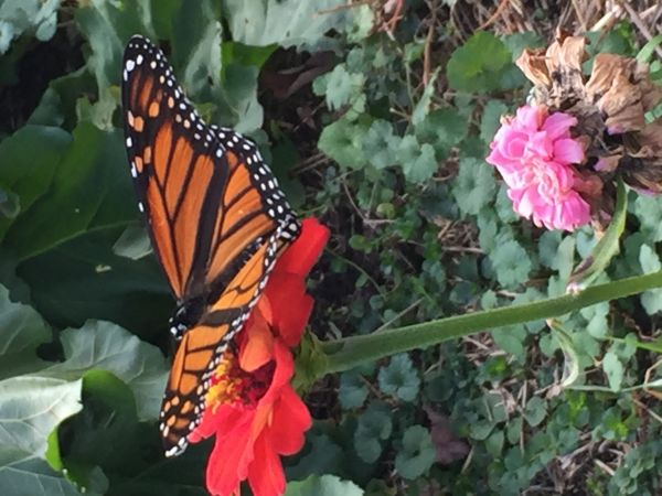 A visiting Monarch seeks a late-summer sip of nectar from a zinnia.